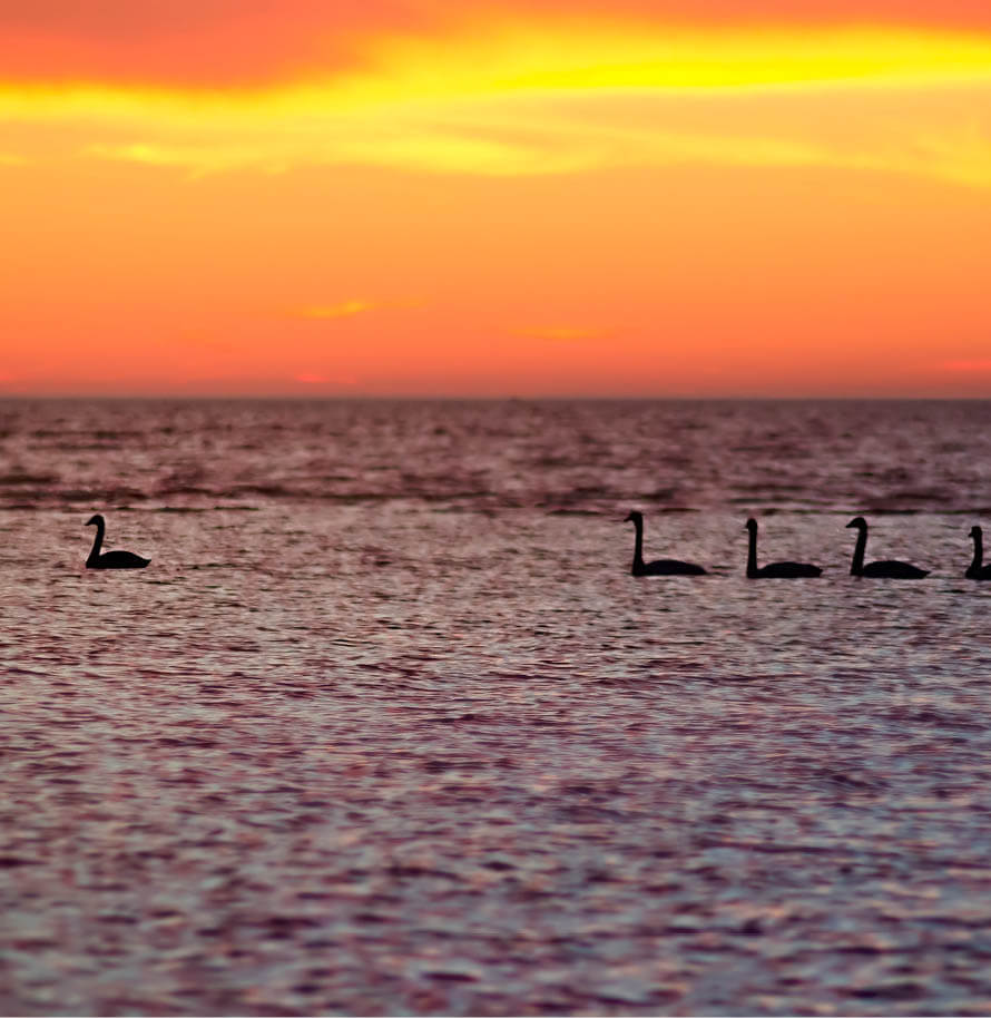 Swans in a line on a lake